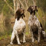 Electric Collar For German Shorthaired Pointer Hunting Dogs